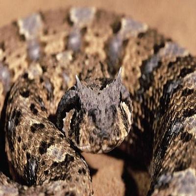 Buy Bitis Arietans Venom Online (Puff Adder) - Reptile Venom Shop