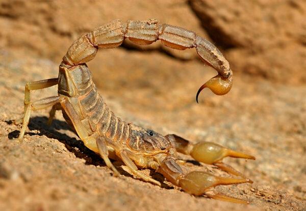 Buy Buthus Occitanus Scorpion Venom Online - Reptile Venom Shop