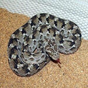 Buy Echis Carinatus Venom Online - Reptile Venom Shop