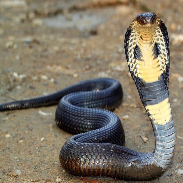 Buy King Cobra Snake Venom Online - Reptile Venom Shop