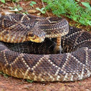 Buy Crotalus Durissus Venom Online - Reptile Venom Shop