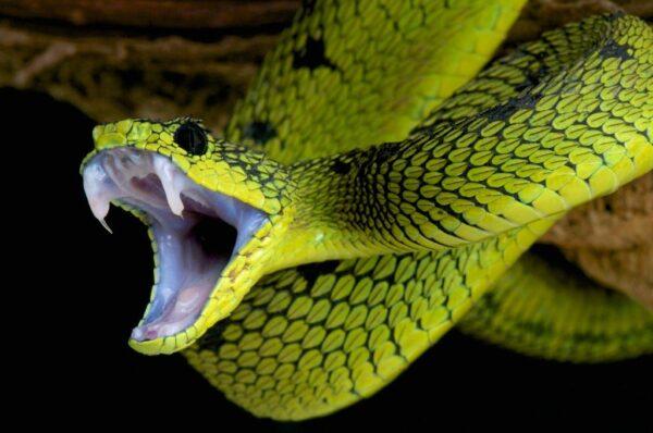 Buy Dendroaspis Angusticeps Venom - Reptile Venom Shop