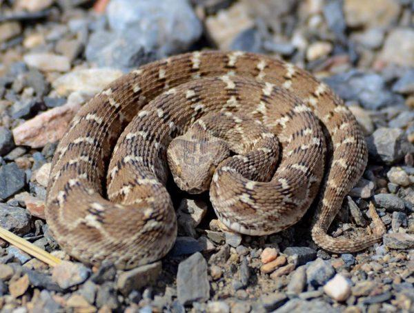 Buy Echis Ocellatus Venom Online - Reptile Venom Shop