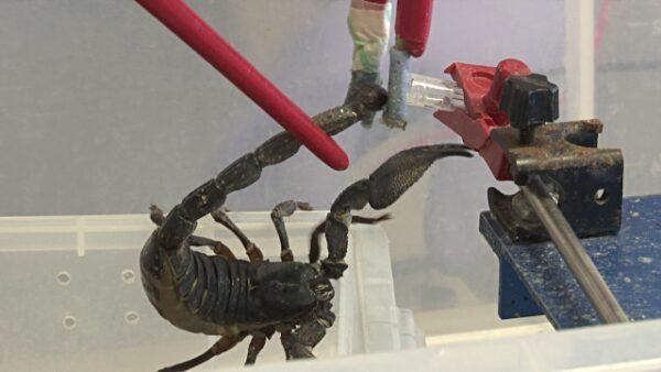 Buy Moroccan Black Thick-tailed Scorpion Venom Online - Reptile Venom Shop