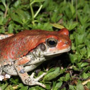 Buy Schismaderma Carens Toad Venom Online - Reptile Venom Shop