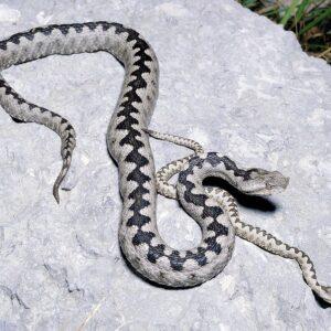 Buy Vipera Ammodytes Venom Online