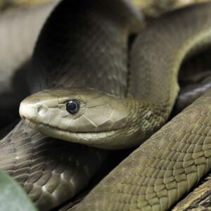 Buy Dendroaspis Polylepis Venom - Reptile Venom Shop